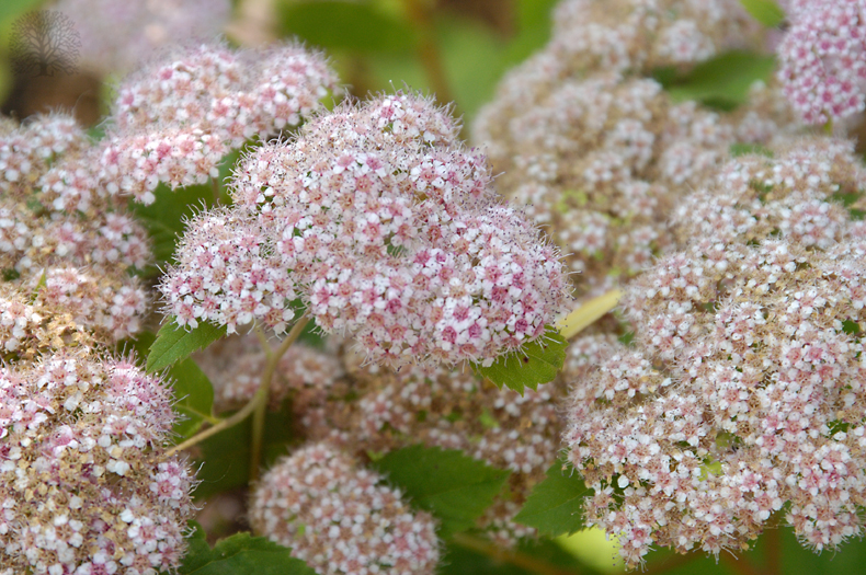 Spiraea (Spirea) | Estabrook's - Maine Garden Center and Nursery